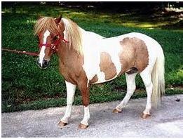 يک راس اسب سيلمي مينياتوري (فلابلا)